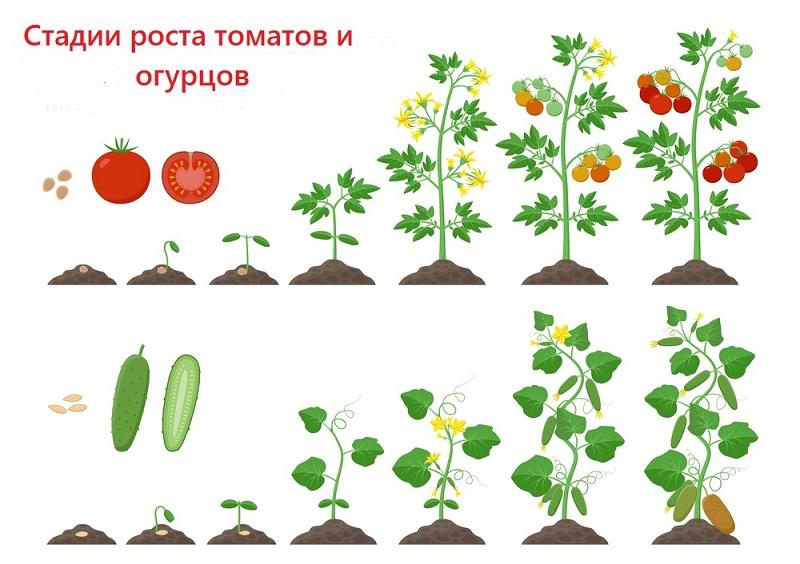условия выращивания рассады капусты