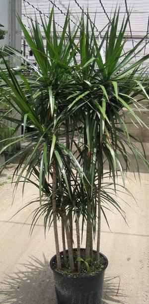 Пальма как называется цветок