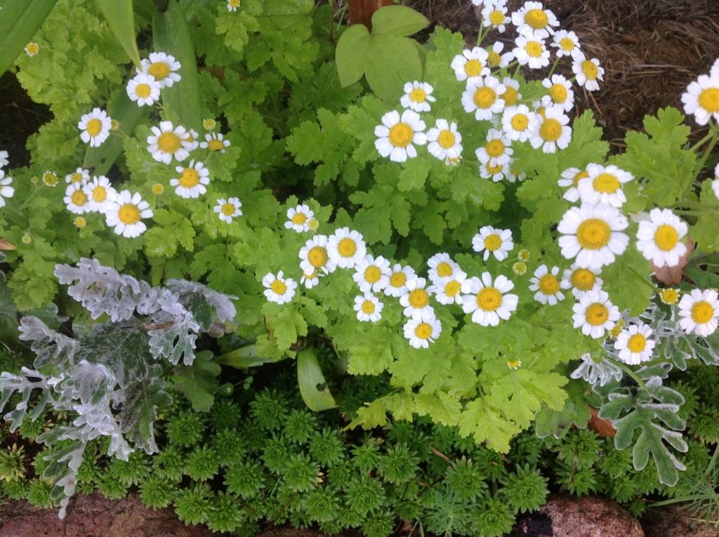 Фото цветка матрикария 31
