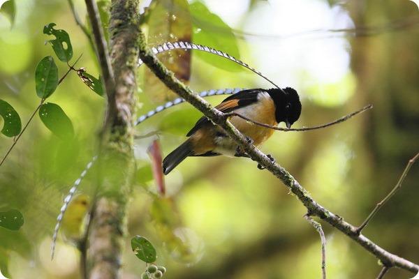 Чешуйчатая райская птица