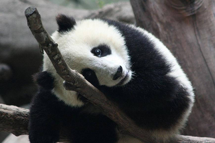 Зачем панды едят бамбук