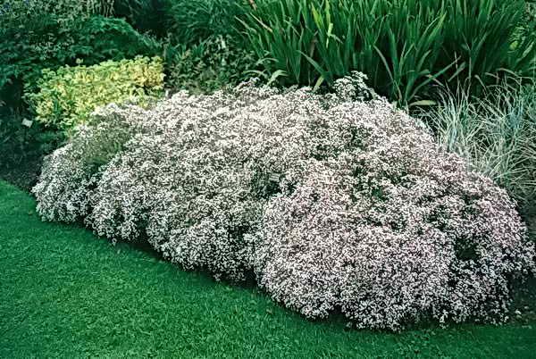 Гипсофила для сада, посадка, уход в открытом грунте, черенкование