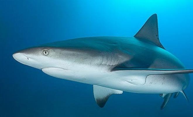 Нападение акулы в реальном времени: редчайшее видео, сделанное дайвером