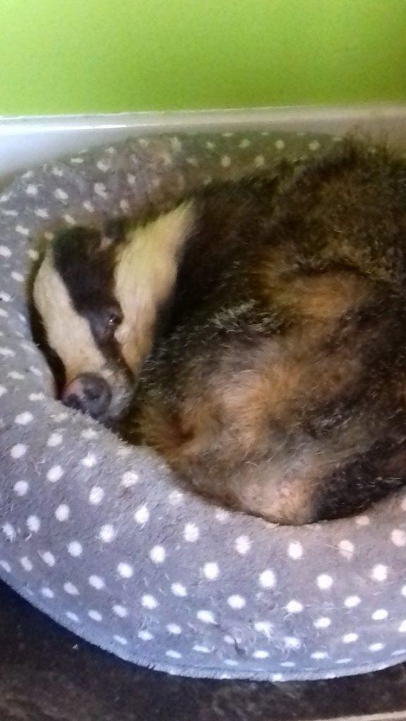 Барсук забрел в дом и занял кошачью кровать