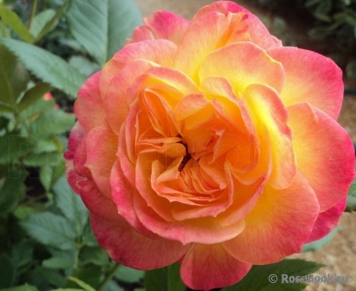 http://www.rosebook.ru/components/articles/images/bb/original/526-180-13.jpg