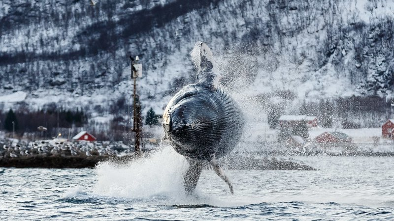 Потрясающие фотографии китов и косаток