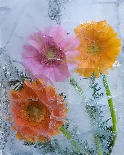 Цветы и лёд, фотограф Василий Чешенов