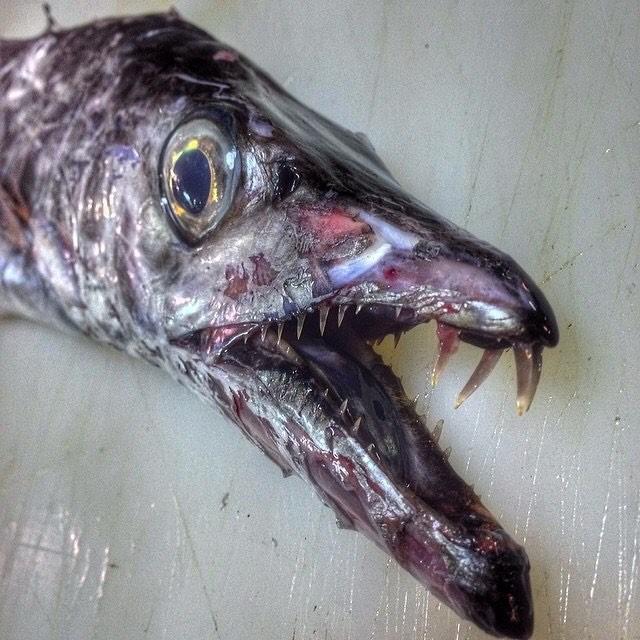 Рыба-сабля.На лицо ужасная, но промысловая.Ловили в Марокко монстры, море, рыбалка, рыбы, улов