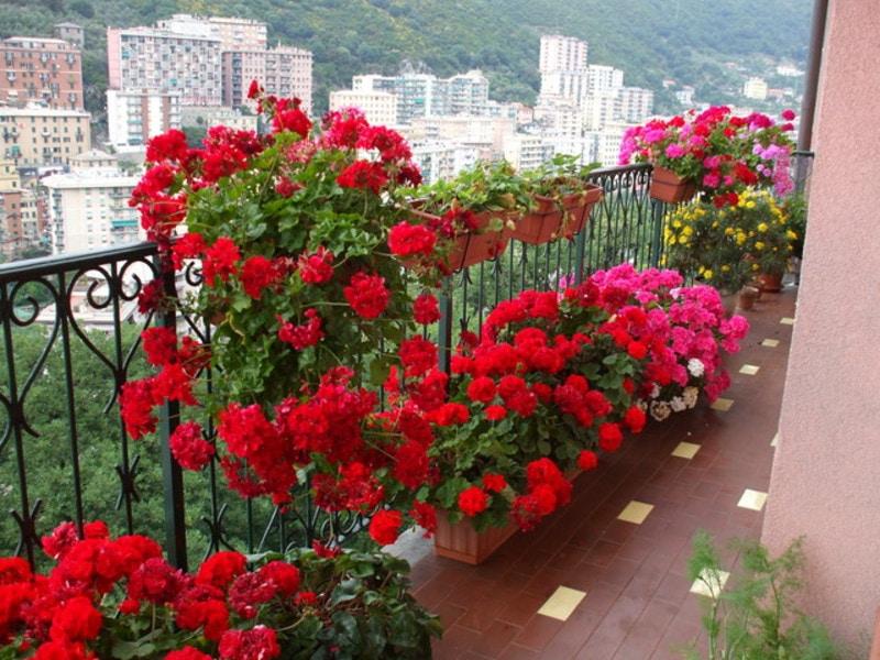 Самые неприхотливые цветы для балкона цветущие все лето