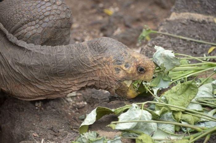 100-летний самец черепахи сп…