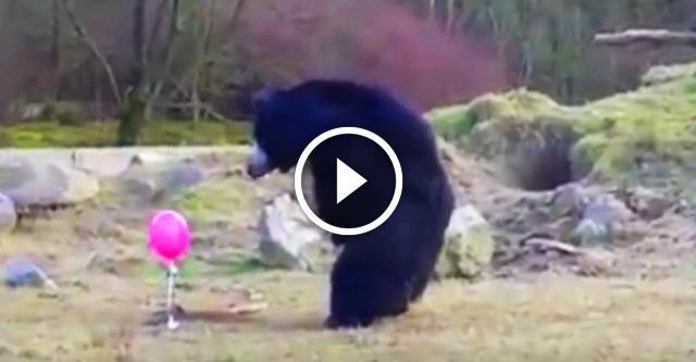 Розовый шарик вызвал полный восторг у медведя