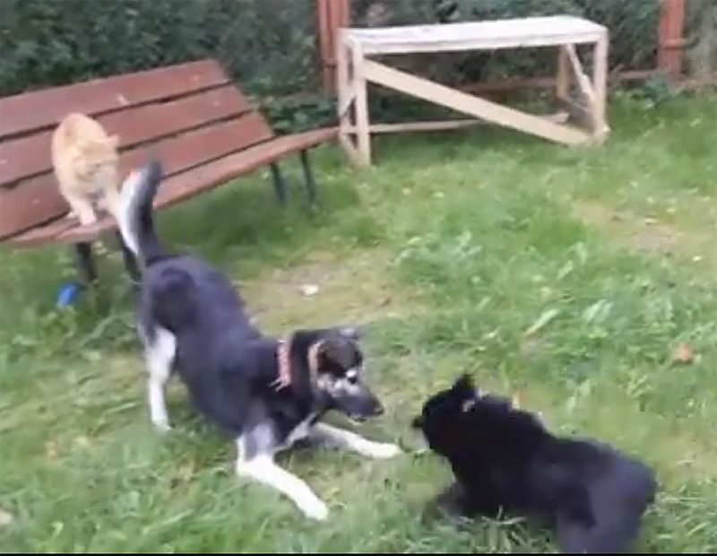 Вот что может произойти, если пес решит напасть на собаку, которую охраняет кот!