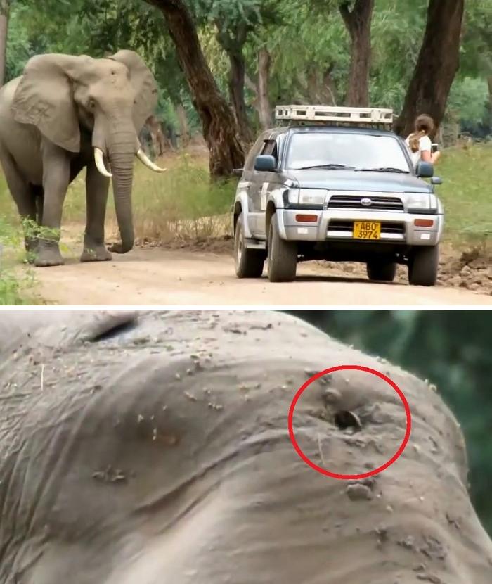 Раненый браконьерами слон сам пришел к людям за помощью
