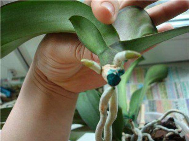 Как получить детку орхидеи в домашних условиях