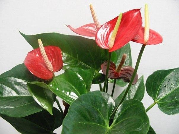 Цветы домашние красные с