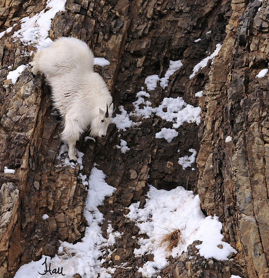 crazygoats11 Козлы, которым не ведома боязнь высоты