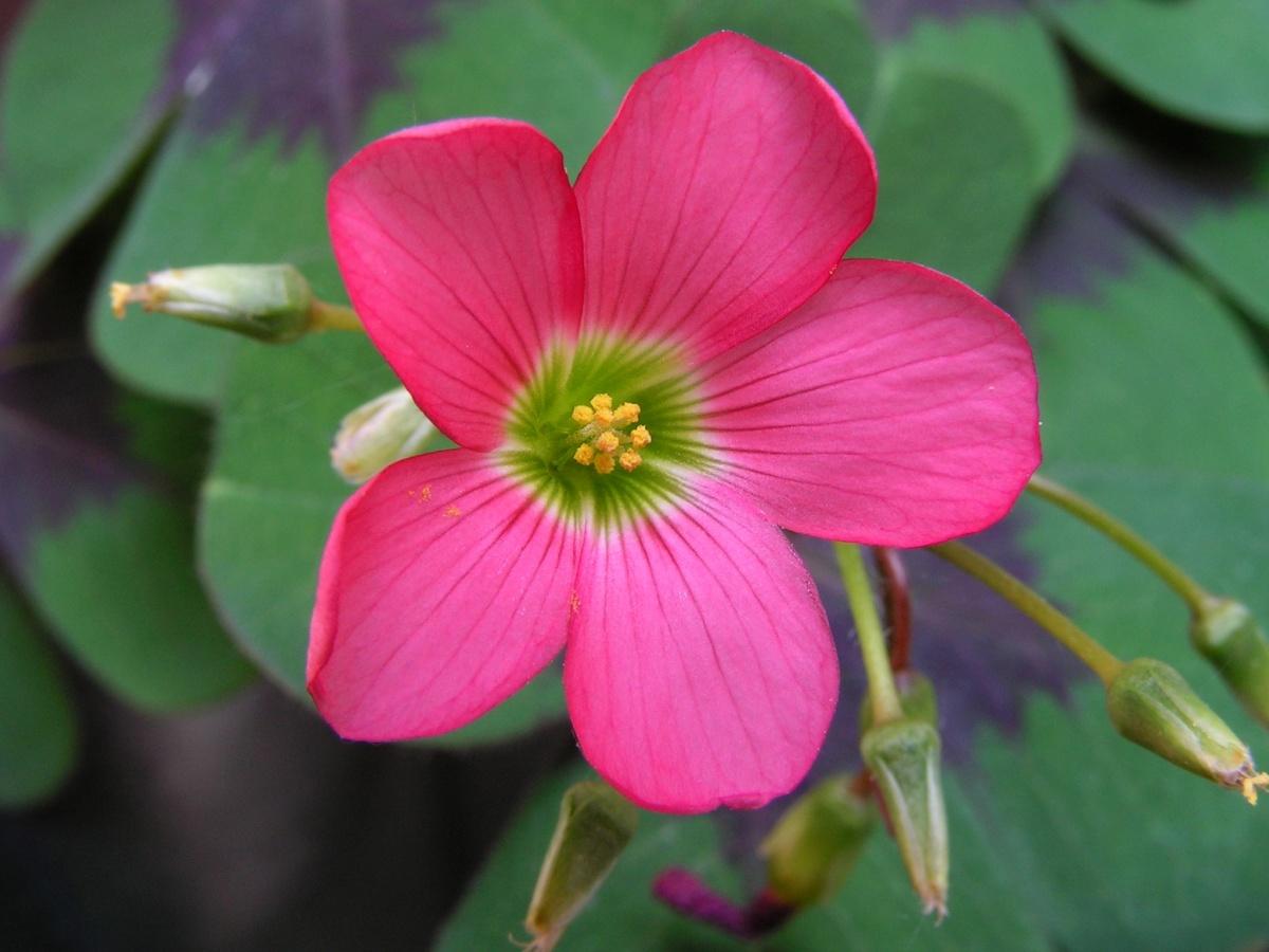цветок кислицы деппа