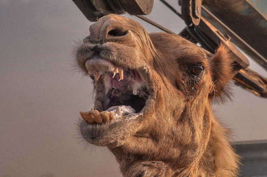 Что скрывает верблюжий горб