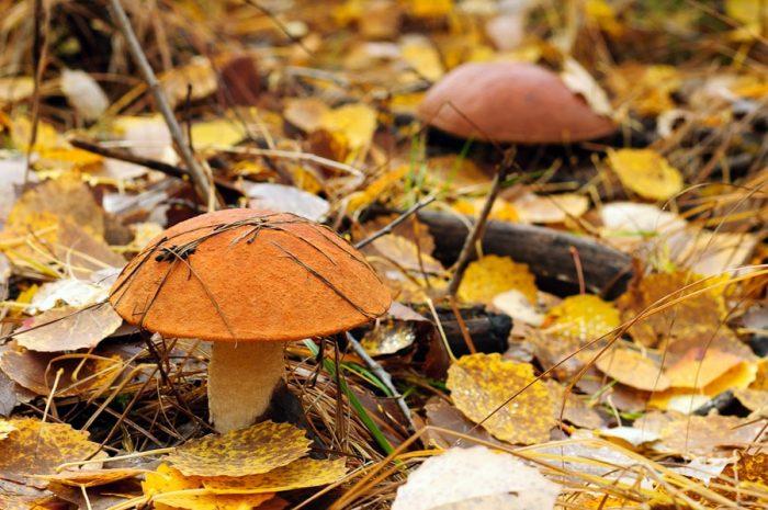грибы фото осень
