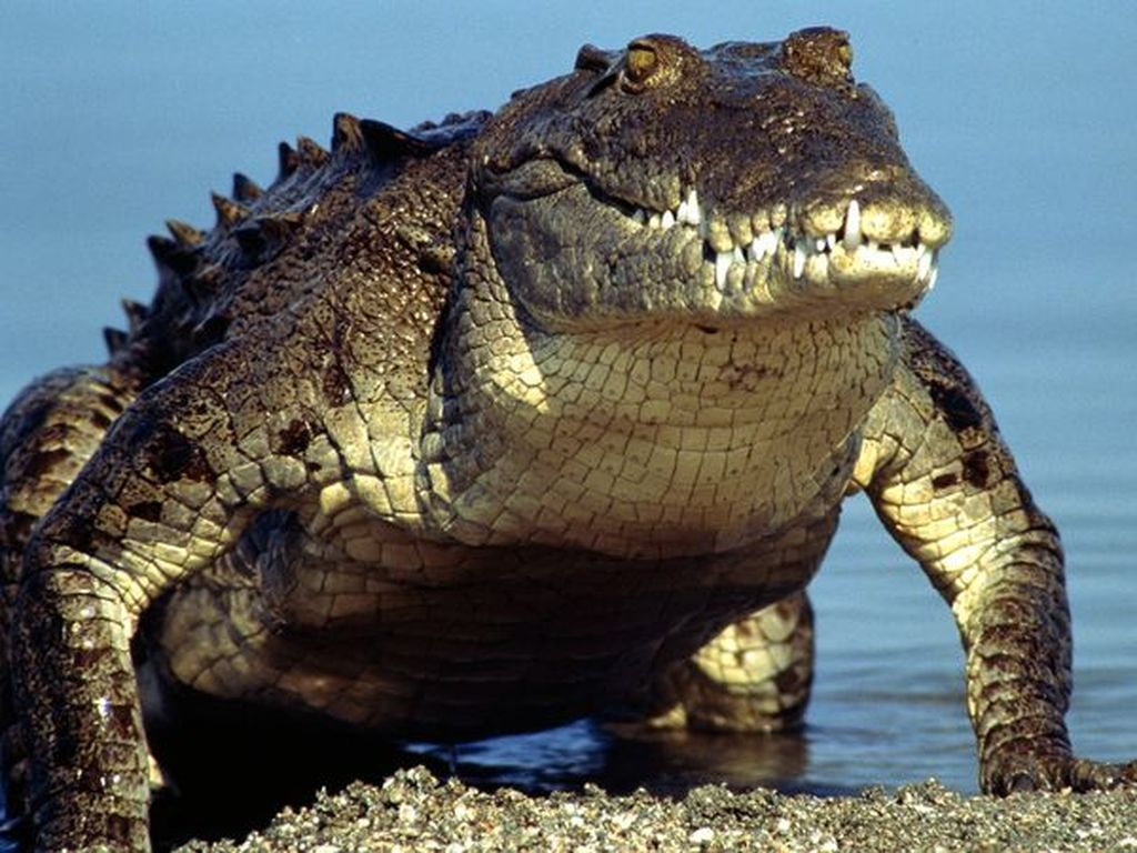 Осторожно! Крокодилы!