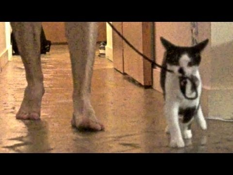Урок для котов: «Как выгуливать своего человека». Смотрим и наслаждаемся!
