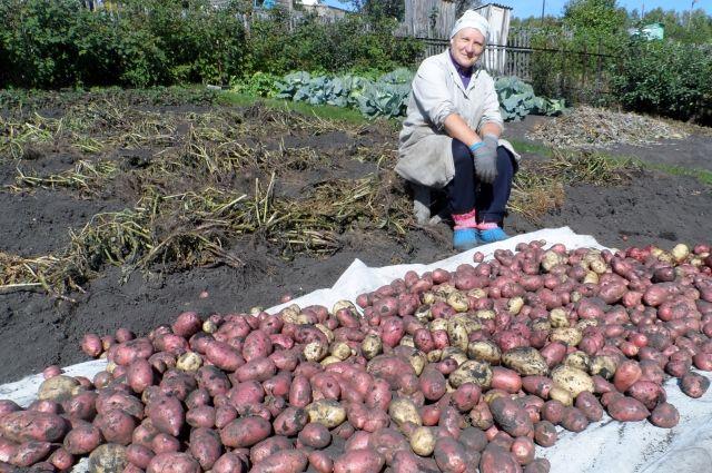 Как вырастить больше картошки?