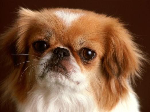 Особенности ухода за собакой породы пекинес