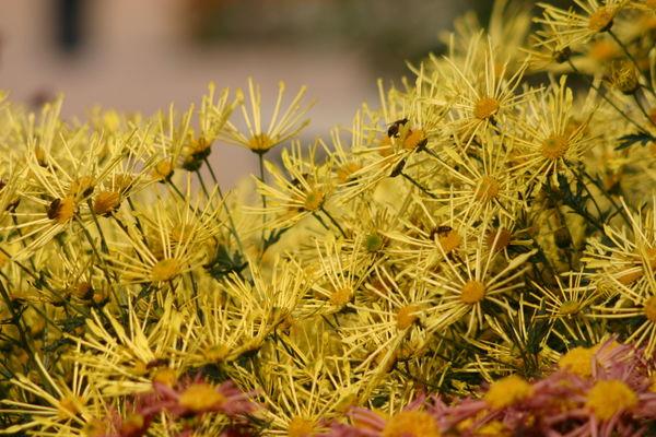 Хризантема сорт Золотой Паучок