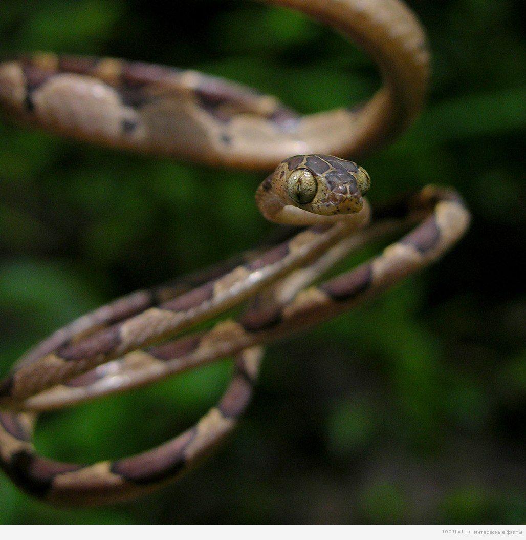 Амазонская ремневидная змея