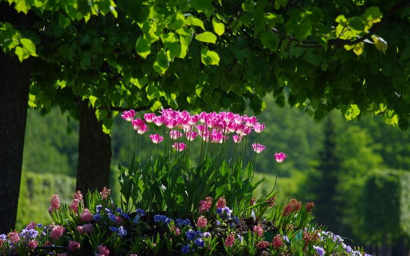 тюльпаны, сад