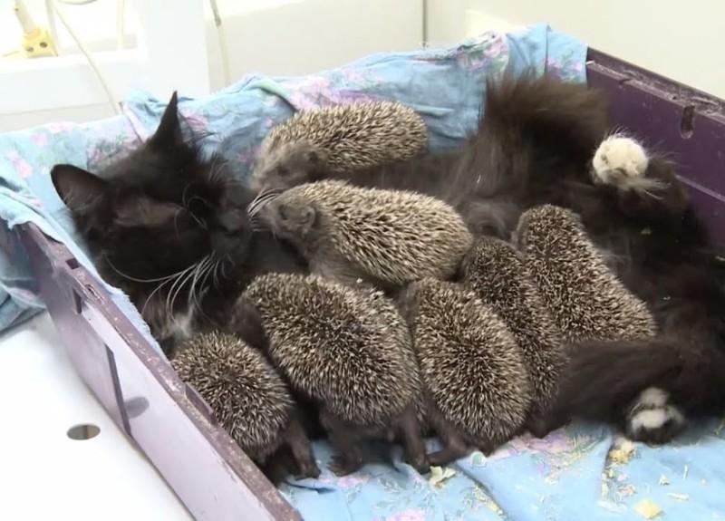Кошка усыновила восьмерых осиротевших ежиков