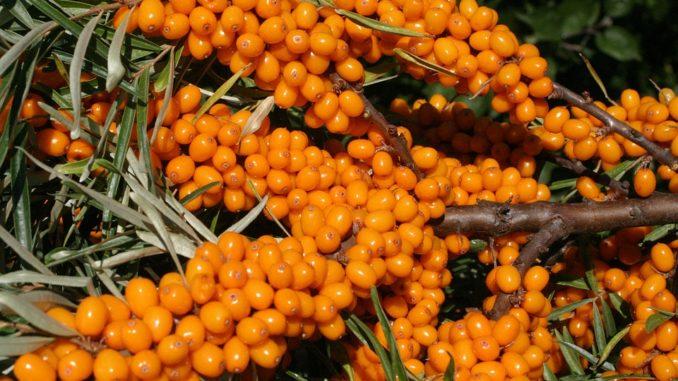 Облепиха — ягодки-таблетки в…