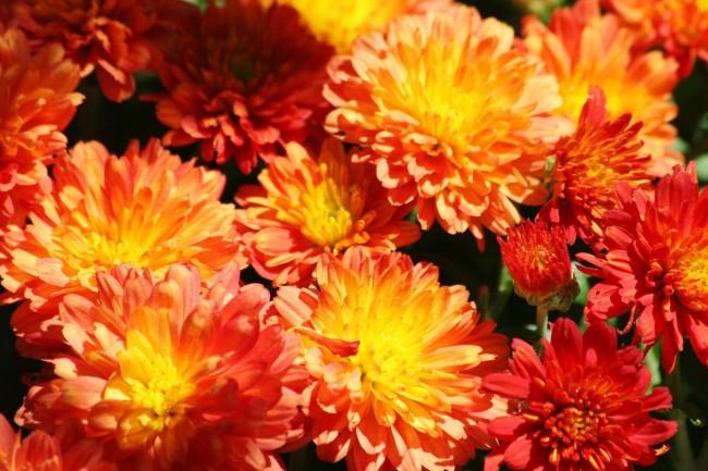 Хризантемы — яркие и «солнечные» цветы, поднимающие настроение