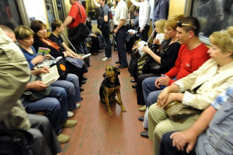 Как бродячие собаки ориентируются в московском метро