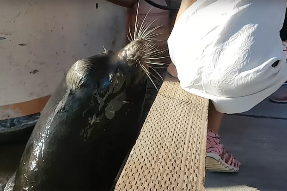 В Канаде морской лев утащил девочку под воду