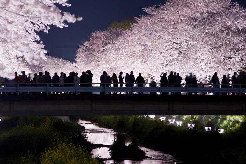 Ночной вид цветущей сакуры. Япония. Фото