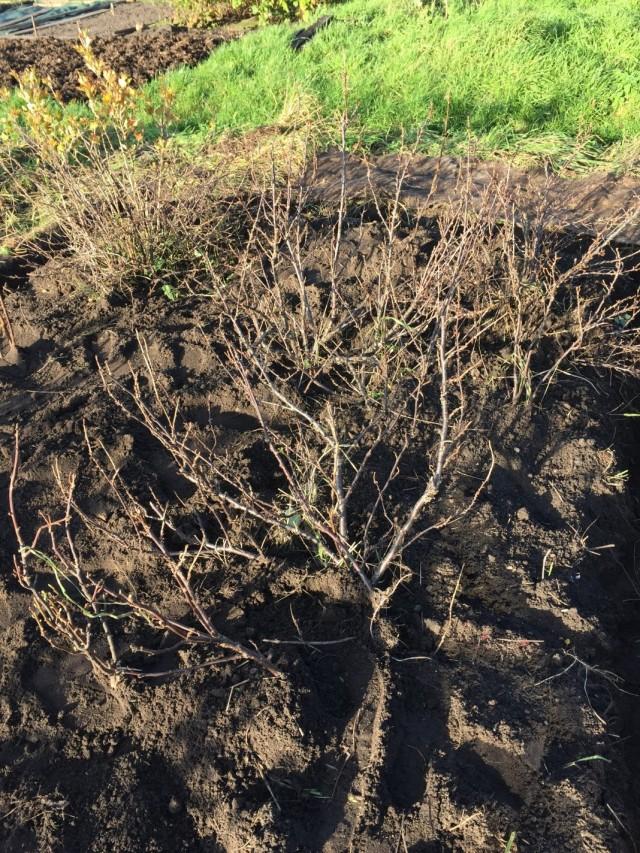 Кусты чёрной смородины после осенней подготовки