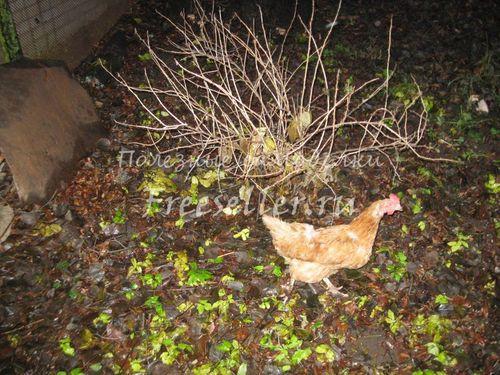 Осенний выгул домашней птицы в огороде