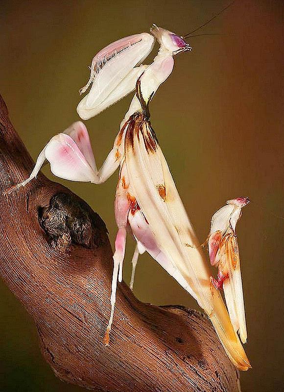 6106 Орхидейные богомолы