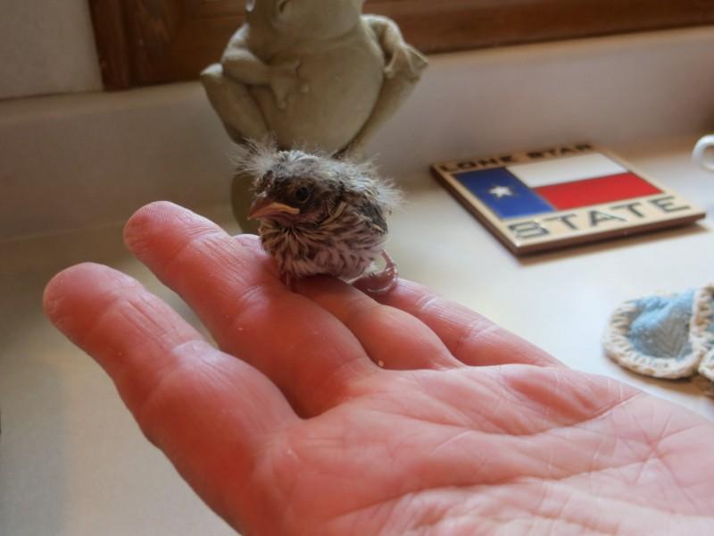 Этот птенец выпал из гнезда и умирал... Но посмотрите, что произошло через 36 дней!