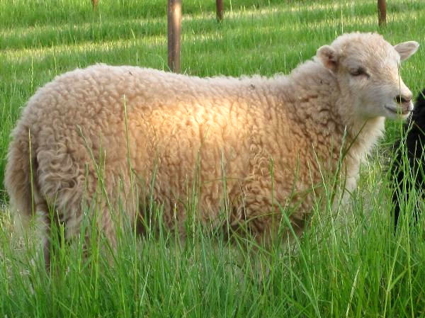 Самая маленькая порода овец в мире