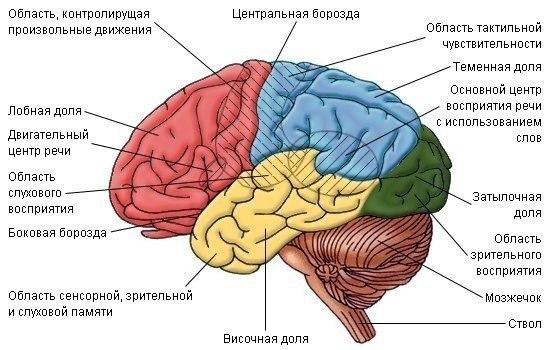 Интересное о мозге