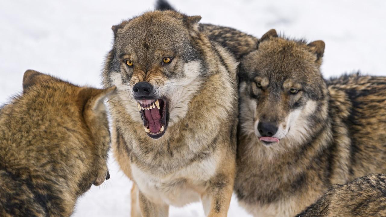 Камчатские охотники заработали на волках около 1,4 млн рублей