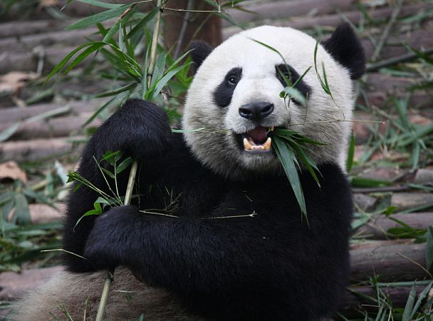 Большие панды предпочитают сладости