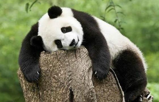 Панды не впадают в спячку
