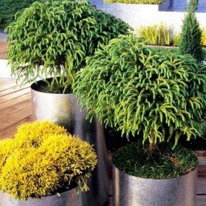 : Хвойные растения