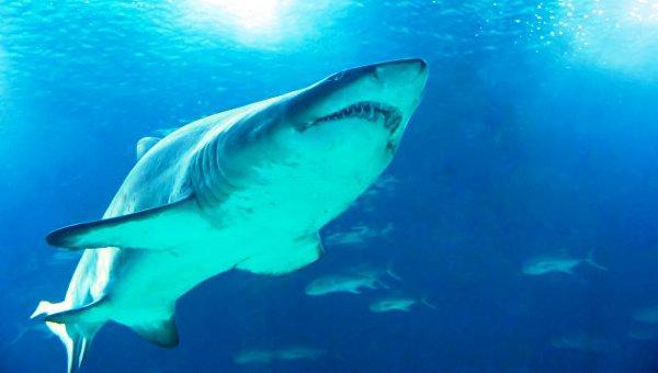 У берегов США появились акулы со съеденным мозгом