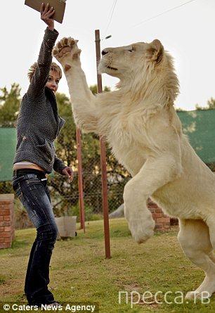Тимба - домашний белый лев (14 фото)