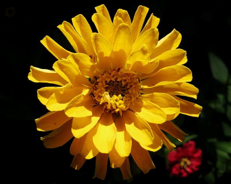 Циния. Желтая..