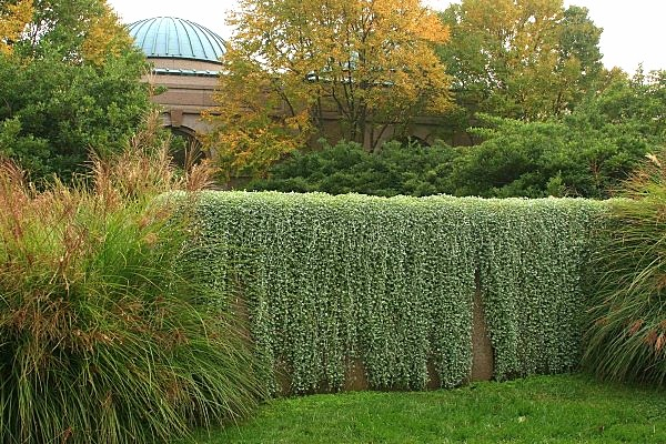 Garden Photograph: Silver Falls Dichondra, Garden Design Ideas topic, Garden Design Ideas, Garden Design Ideas gallery PRsarahev